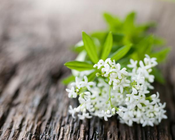 Szagos müge (Galium odoratum) dekoratív, apró fehér virágai.