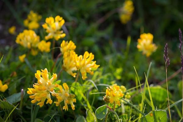 Nyúlszapuka sárga virágai.