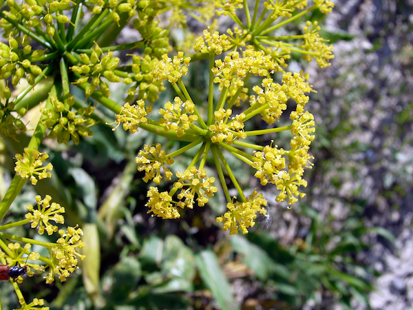 Bűzös aszat (Ferula assa-foetida) sárga virágai.