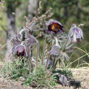 A védett növény: mezei kökörcsin