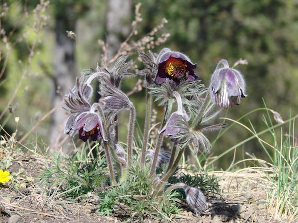 Mezei kökörcsin (Pulsatilla pratensis) ibolyabarna, bókoló virágai.