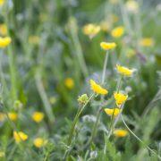 Erdei gyömbérgyökér, az áldott növény