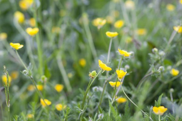 Erdei gyömbérgyökér (Geum urbanum) sárga virágai.