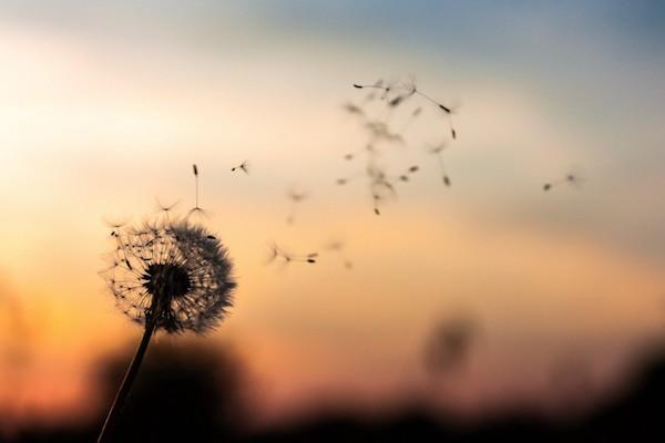 Piypang ernyős virágát fújja el a szél.
