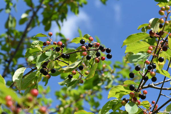 Varjútövis (Rhamnus cathartica) fekete bogyói.