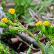 Egy gyönyörű, ámde veszélyes növény: aggófű