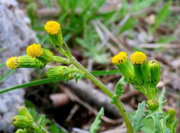 Közönséges aggófű (Senecio vulgaris) sárga bimbói.
