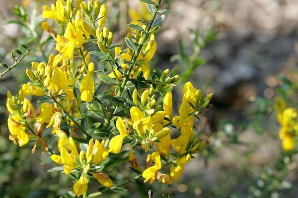 Festő rekettye (Genista tinctoria) sárga színű pillangós virágai.