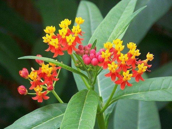 Hánytatógyökér (Cephaelis ipecacuanha) színes virága.