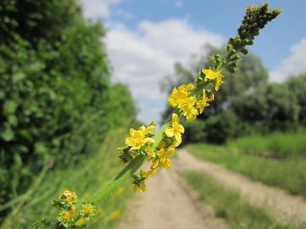 Közönséges párlófű (Agrimonia eupatoria) útra kihajló sárga virága.