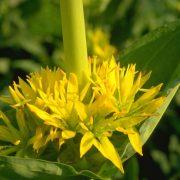 Sárga tárnics, a keserű gyógynövény