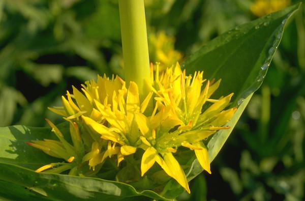 Sárga tárnics (Gentiana lutea) makrofotója.