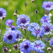 A tündérszép kék búzavirág