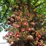 Egy bűzös termést hozó szent fa: ágyúgolyófa
