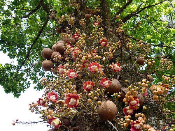 Ágyúgolyófa virágai és termései.