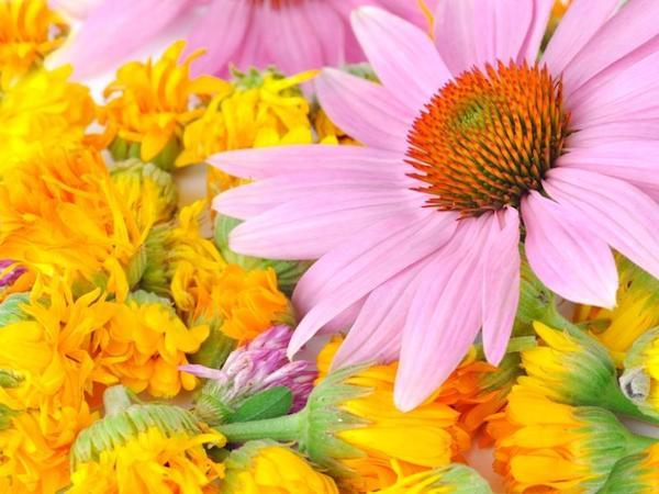 A két leghatékonyabb gyógynövény, a bíbor kasvirág és a körömvirág egymás mellett.