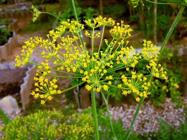 Kapor sárga virágaival.