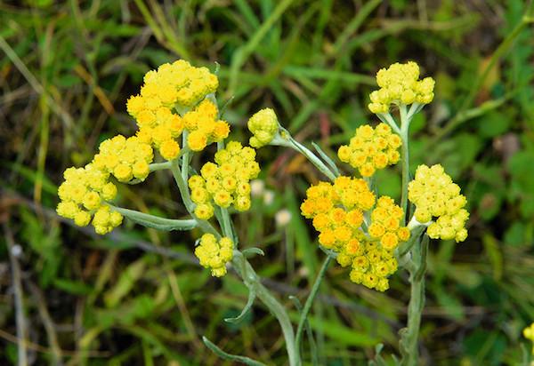 Homoki szalmagyopár sárga virágai.