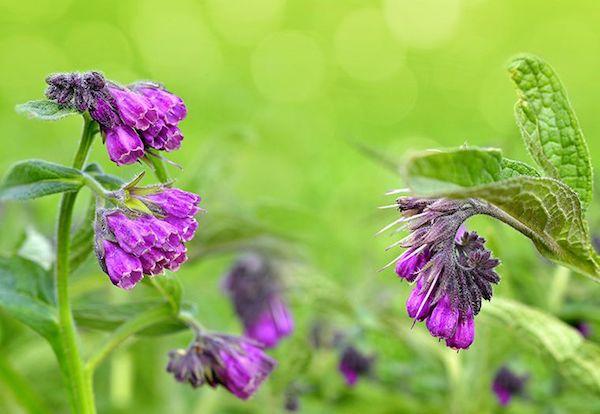 Fekete nadálytő gyönyörű virágai.