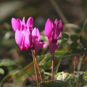 Erdei ciklámen – nem gyógynövény, de csodaszép