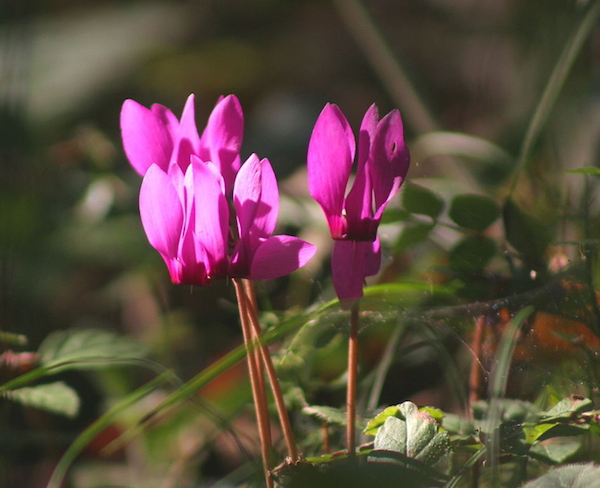 Erdei ciklámen (Cyclamen purpurascens) gyönyörű virága.