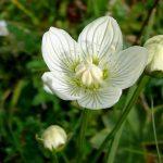 Tőzegboglár, a védett növény