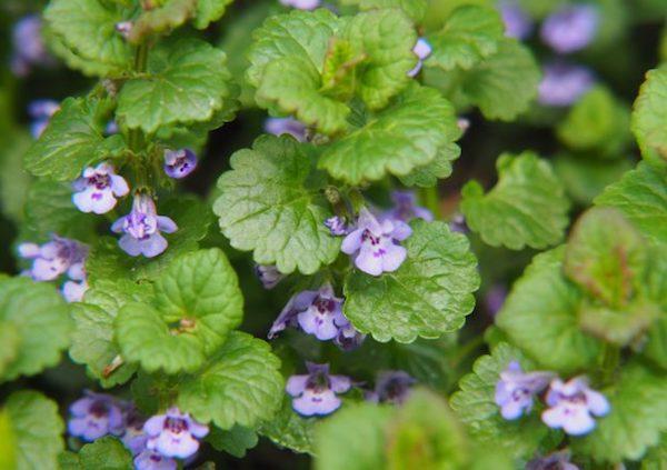 Kerek repkény, azaz Glechoma hederacea csodaszép lila virágai.