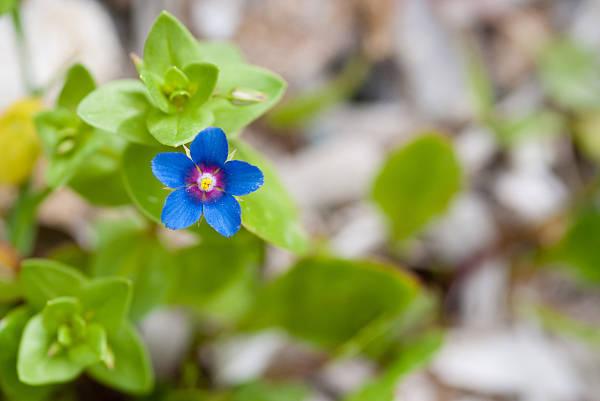 Anagallis arvensis (mezei tikszem) kék virága.
