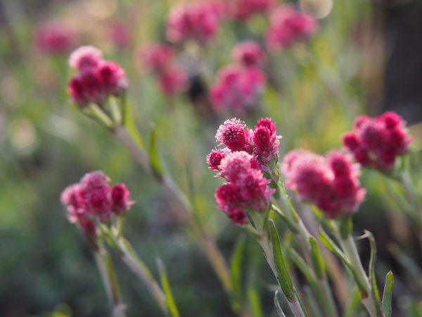 Parlagi macskatalp (Antennaria dioica) érdekes virágai.