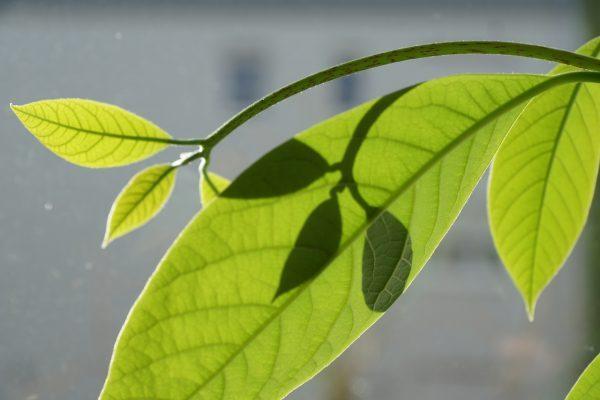 Mangófa levelén átszűrődő napsugár.