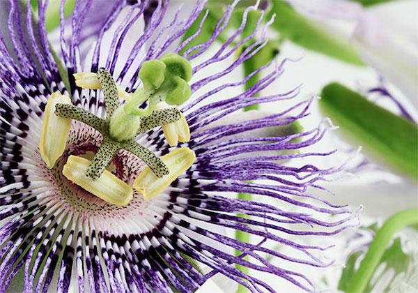 Szenvedélyvirág, azaz passion flower gyönyörű, érdekes virága.