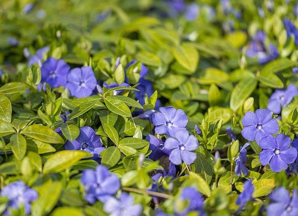Kis télizöld (Vinca minor) lila virágai szőnyegként elterülve.