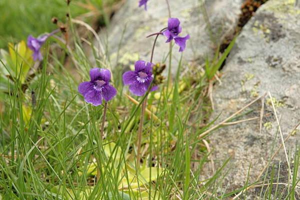 Lápi hízóka (Pinguicula vulgaris) helyes, lila színű virágai.