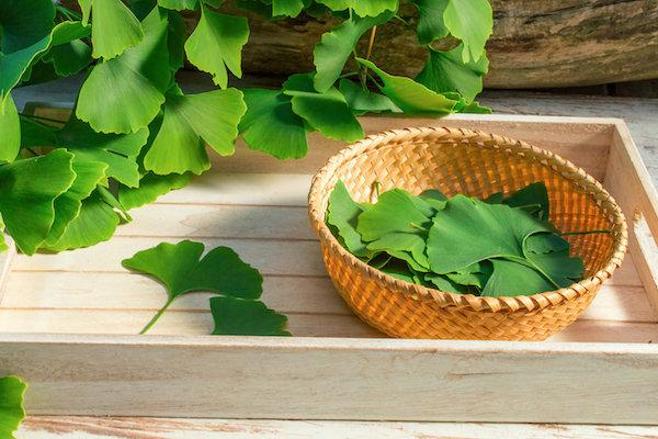 Ginkgo biloba frissen szedett levelei egy tálcán lévő kis kosárkában.