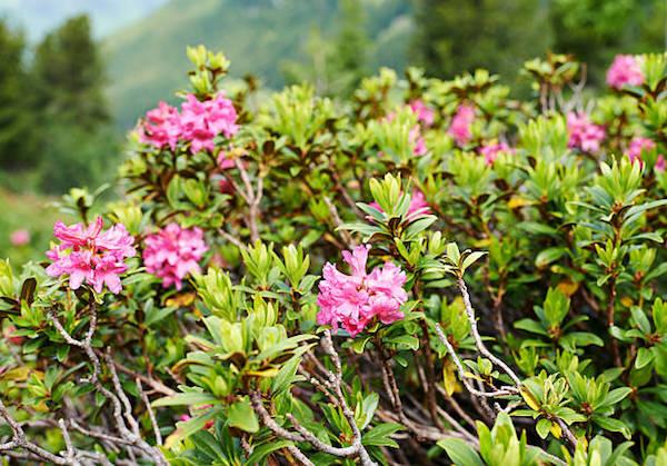 Rozsdás havasszépe (Rhododendron ferruigineum), népiesen alpesi harangrózsa.