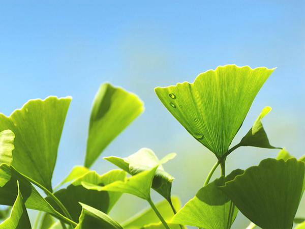 Ginkgo biloba leveli, egyiken friss harmatcsepp.
