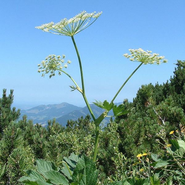 Magas hegyek között élő császárgyökér (Peucedanum ostruthium).