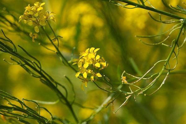 Szapora zsombor (Sisymbrium officinale) sárga virágai.