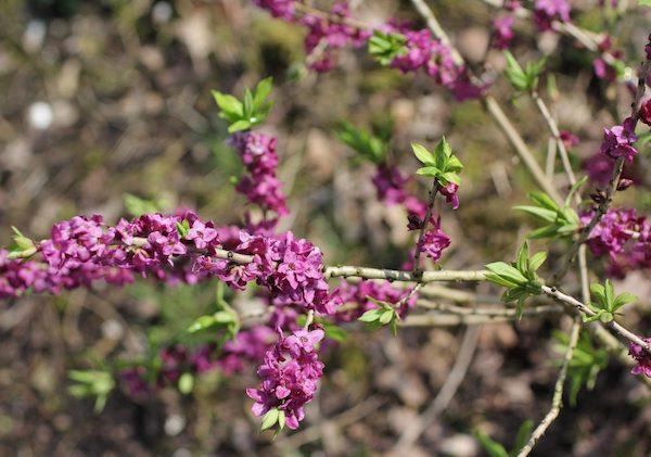 Farkasboroszlán (Daphne mezereum) lila fürtös virágai.