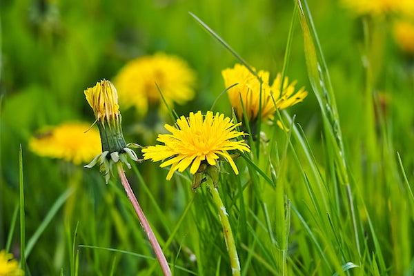 Pitypang sárga virágai.