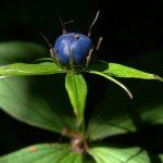 A pestis gyógyítója: négylevelű farkasszőlő