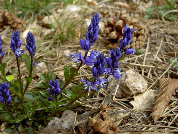 Keserű pacsirtafű (Polygala amara) lila virágai a száraz avar között.