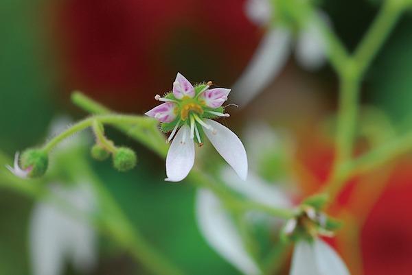 Kőtörőfű virága közelről fotózva.