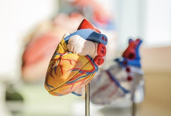 Emberi szív tanulmányozásra műanyag makettként.