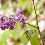 Püspöksüveg (Horny goat weed) lila, érdekes virágai.