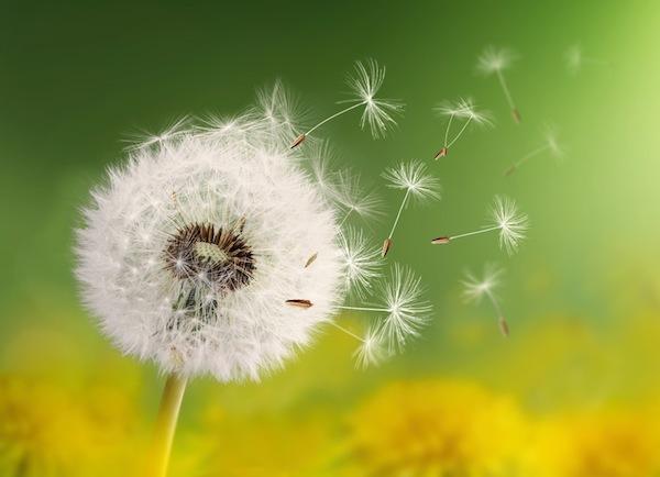 Gyermekláncfű elszálló, ernyős virágai.