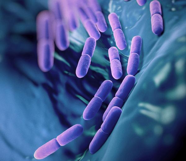 Probiotikumok az emberi szervezetben.