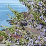 A Földközi-tenger csodás gyógynövénye: rozmaring