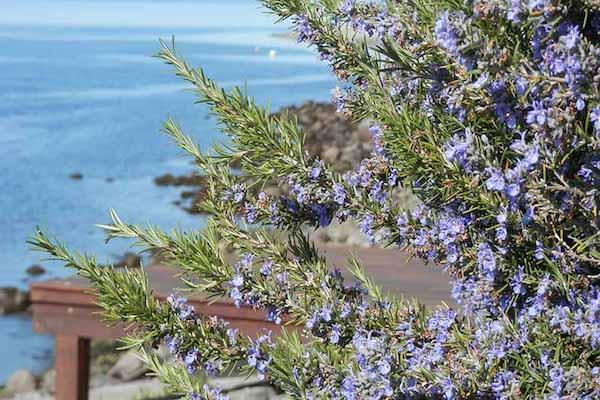 Rozmaringbokor a Földközi-tenger mentén.