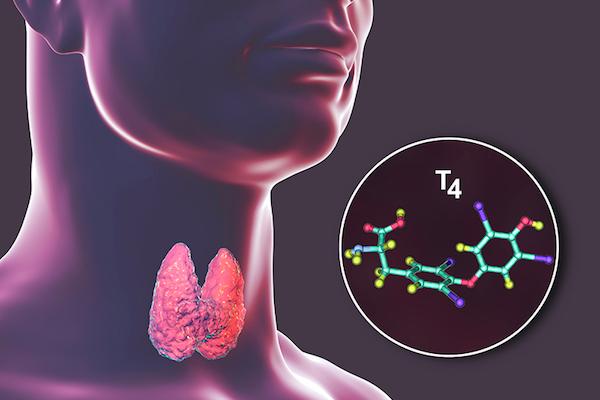 Pajzsmirigy pillangó alakú szerve és az általa termelt pajszmirigyhormon.gyógy